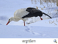 Storch Warmenau 11.2.21 (R.Lunde) Wintersport